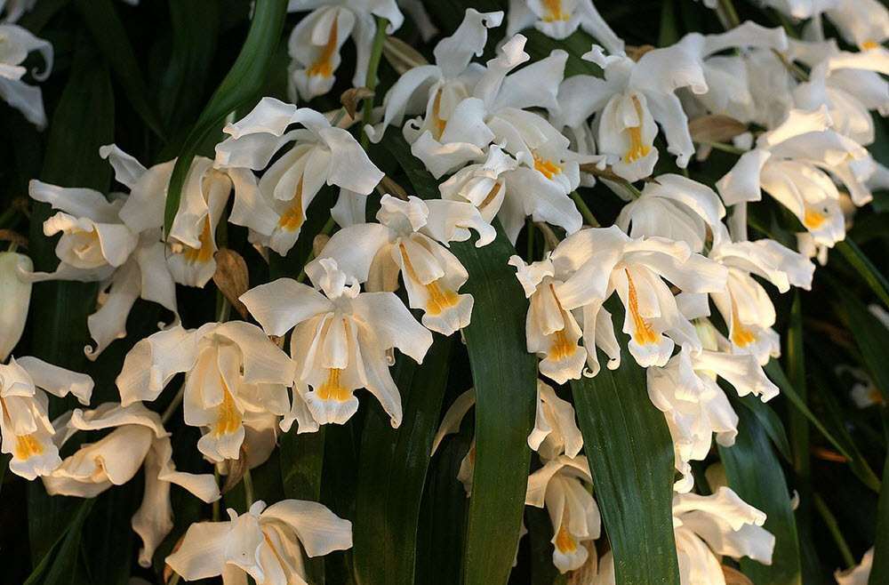Coelogyne orchids